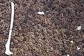 Starr 990514-0723 Casuarina equisetifolia.jpg