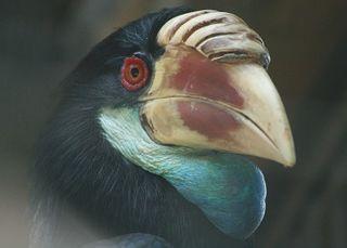 Sumba hornbill species of bird