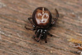 Steatoda.bipunctuata.female.jpg