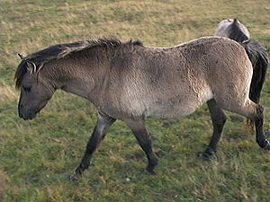 Tarpan - Heck horse in Haselünne, Germany (2004)