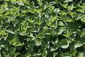Stinging nettle 01 - Green.jpg