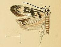 Stomopteryx schizogynae.jpg