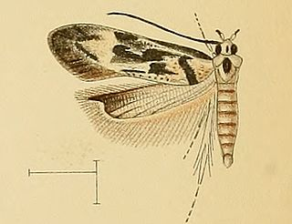 <i>Stomopteryx</i> genus of insects