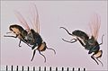 Stomoxys-stable-flies-2.jpg