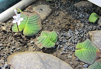 Glossary of plant morphology - An acaulescent species of Streptocarpus has only one leaf, and appears to have no stem