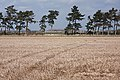 Stubble field and trees, Fordham - geograph.org.uk - 1197377.jpg