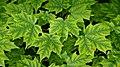 Sugar Maple (Acer saccharum) - Kitchener, Ontario.jpg