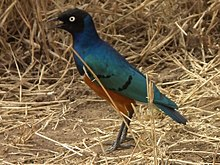 Superb Starling Lamprotornis superbus 3185 cropped Nevit.jpg