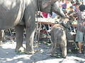 Surin elephants 28.jpg
