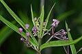 Swamp Milkweed (Asclepias incarnata) - Kitchener, Ontario.jpg