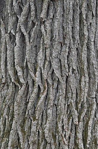 Quercus bicolor - Image: Swamp White Oak Quercus bicolor Bark Closeup Vertical