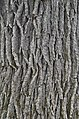 Swamp White Oak Quercus bicolor Bark Closeup Vertical.JPG