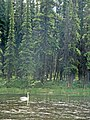 Swan (e2394bcf-4860-4805-bc59-3696b07d82dd).JPG
