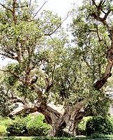 Ficus/