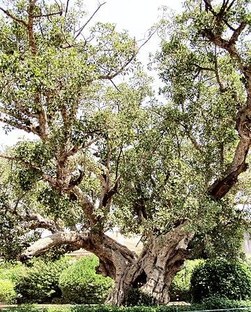 Sycamore Fig, Ficus sycomorus