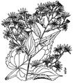 Symphyotrichum cordifolium (syn. Aster cordifolius).png