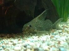 Featherfin squeaker wikipedia for Bottom feeder aquarium fish