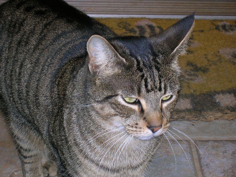 White Tummy Tabby Cat
