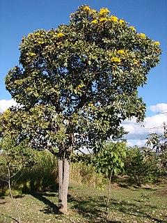 <i>Tabebuia aurea</i> species of plant
