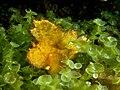 Taenianotus triacanthus (Yellow leaf scorpionfish) in Caulerpa algae.jpg