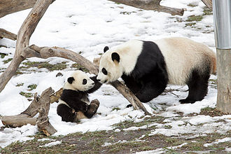 Tai Shan (giant panda) - Tai Shan (7 months old in picture) with his mother Mei Xiang on February 16, 2006
