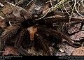 Tarantula (Theraphosidae, Aphonopelma sp.) (37354743301).jpg