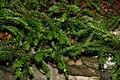 Taxus canadensis 3zz.jpg