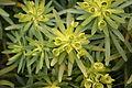 Teguise - Camino de Teguise al las Nieves - Euphorbia regis-jubae 03 ies.jpg