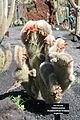 Teguise Guatiza - Jardin - Cleistocactus hyalacanthus cristata 01 ies.jpg