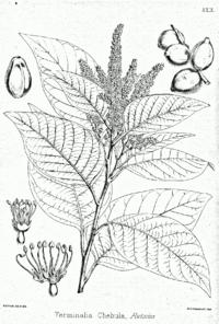 Terminalia chebola Bra29