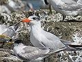Terns at Woodman Spit, April 2021 03.jpg