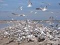 Terns swarm the salt ponds on San Diego Bay NWR in June (6589166357).jpg