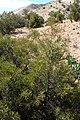 Tetraclinis articulata kz05 Morocco.jpg