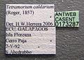 Tetramorium caldarium casent0173287 label 1.jpg