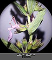 Teucrium chamaedrys (subsp. chamaedrys) sl9.jpg