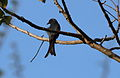 The Black Drongo.JPG