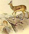 The book of antelopes (1894) (14595743289).jpg