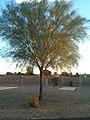 The delicate Palo Verde tree. (5041827598).jpg