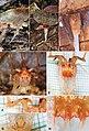 Thismia neptunis Phytotaxa 340 2018.jpg