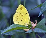 Three-spot Grass yellow (Eurema blanda) in Kolkata Iws IMG 0319.jpg