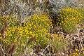 Thymophylla pentachaeta var belenidium 11.jpg