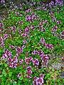 Thymus serpyllum 001.JPG