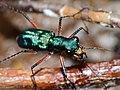 Tiger Beetle (Heptodonta analis) (15581975547).jpg