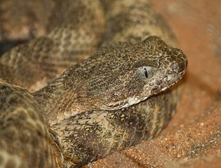 Tiger rattlesnake species of reptile