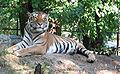 Tiger sT.jpg
