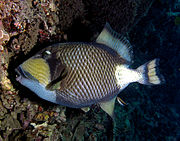 Titan triggerfish moving rocks from its nest by picking them up with its large front teeth.