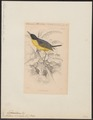 Todirostrum cinereum - 1838 - Print - Iconographia Zoologica - Special Collections University of Amsterdam - UBA01 IZ16500259.tif