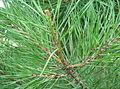 Tortoise Pine Scale 1.JPG
