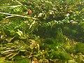 Touffes d'algues vertes filamenteuses dans Les Baillons aout2017 a 11.jpg
