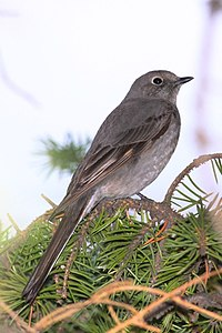 Townsend's Solitaire (8691776403).jpg